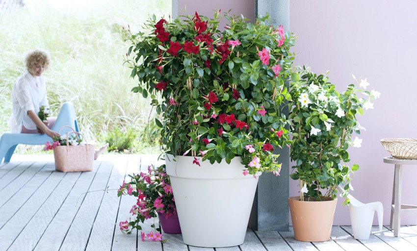 Garden plant of the month for may mandevilla mygarden mandevilla pink white or red trumpet shaped flowers mightylinksfo