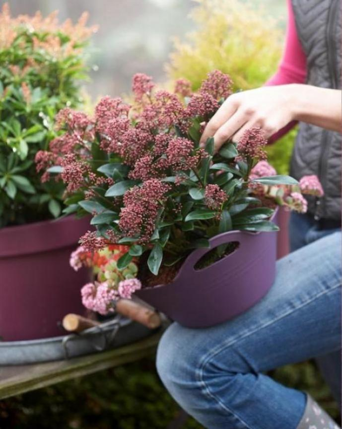 Skimmia a plant for all seasons for Plante verte exterieur hiver